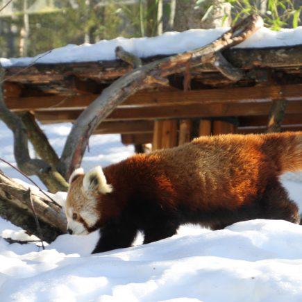 Pikku Panda Ähtärin eläinpuisto